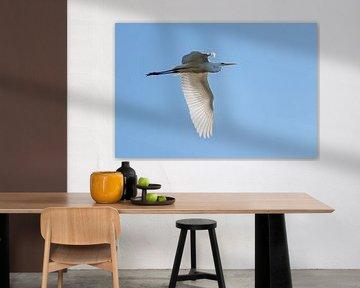 grande aigrette (Ardea alba), un grand héron blanc en vol contre le ciel bleu clair, copier l'espace