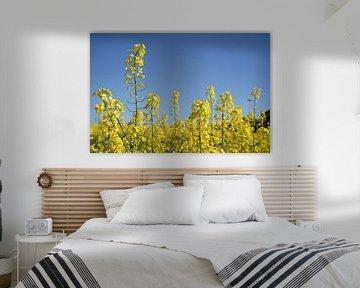 Plante de colza ou de canola dans un champ, gros plan du colza à fleurs jaunes sur un ciel bleu clai
