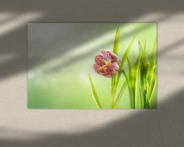 slangenhoofd fritillary (Fritillaria meleagris) of geblokte narcis, bloem en bladeren tegen een over van Maren Winter