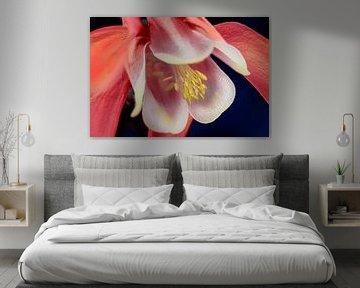 Rote Blume der Akelei, Nahaufnahme von Rietje Bulthuis