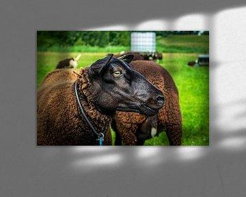 Handsome Brown Sheep 1 van Urban Photo Lab