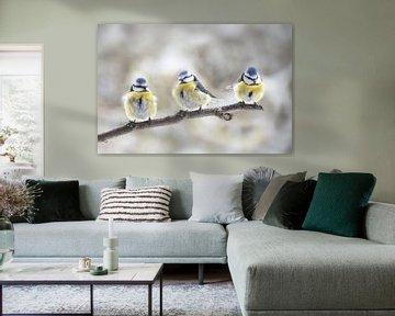 drei eurasische Blaumeisen (Cyanistes caeruleus) sitzen zusammen auf einem Ast im Wind, der kleine S von Maren Winter
