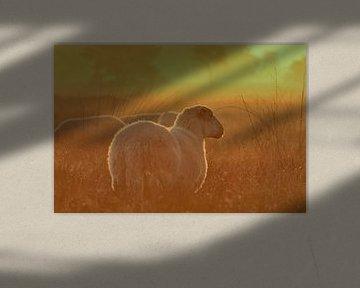 Schaap bij zonsopkomst in de mist van Frans Roos