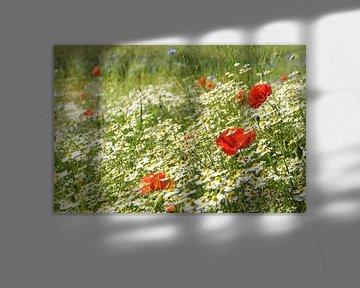 Prairie d'été ensoleillée avec des coquelicots en fleurs, de nombreuses camomilles ou des marguerite