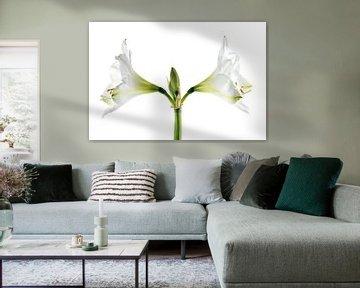 Dubbele witte amaryllis bloei (Hippeastrum), symmetrische close-up van de twee bloemen en meeldraden van Maren Winter
