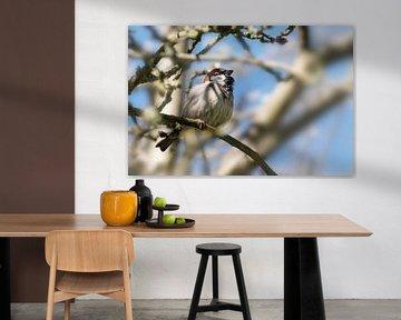 Haussperling männlich (Passer domesticus), kleiner Vogel der Familie Passeridae, auf einem Baum sitz von Maren Winter