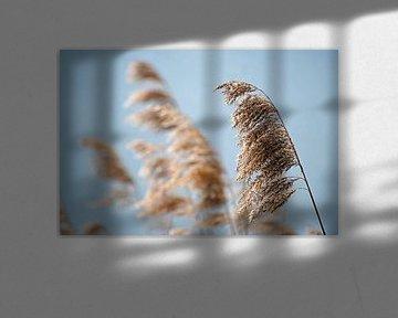 Le roseau commun (phragmites australis) sèche les têtes de graines au printemps sur fond de ciel ble