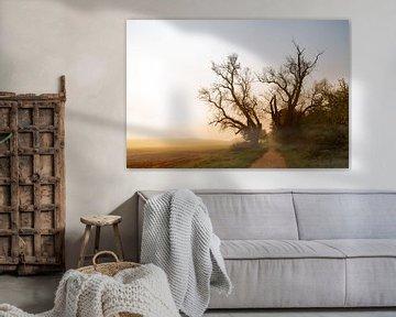 deux vieux peupliers aux branches nues sur un chemin à côté d'un champ dans la lumière brumeuse du l