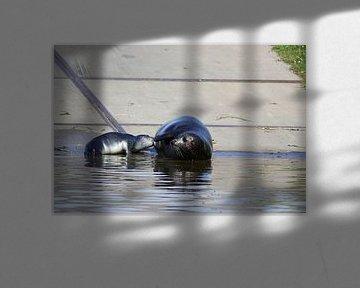 Robbenmutter füttert ihre Jungen von Leon Verra