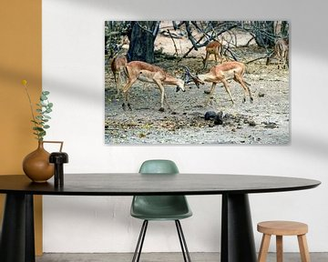 Kampf gegen den Impala Chobe-Nationalpark von Merijn Loch