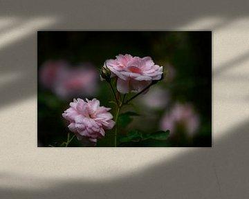 moody roze rozen van Tania Perneel
