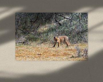 Jonge vos bekijkt zijn leefgebied van Merijn Loch