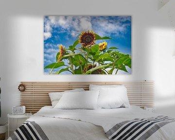 Kleurrijke zonnebloemen met een blauwe  lucht en witte wolken lucht van JM de Jong-Jansen