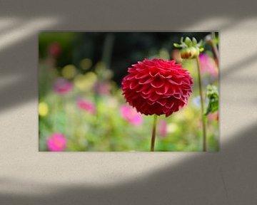 Wunderschöne rote Ranunkulusblüte in Christchurch - Neuseeland von Be More Outdoor