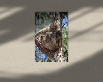 Koala (Phascolarctos cinereus) von Dirk Rüter