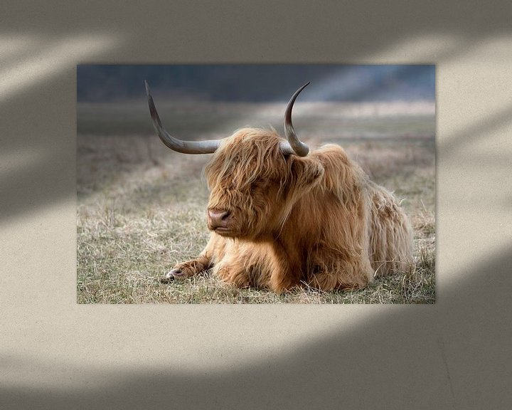Sfeerimpressie: Schotse hooglander van Henk Zielstra