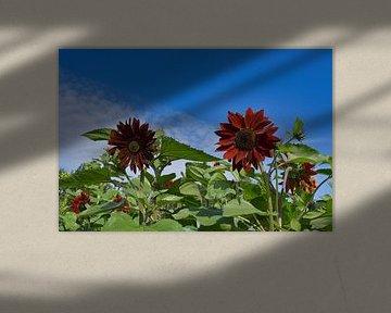 Ein rotes Feld mit Sonnenblumen von J..M de Jong-Jansen
