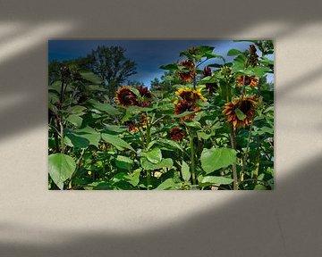 Bos rode zonnebloemen van JM de Jong-Jansen