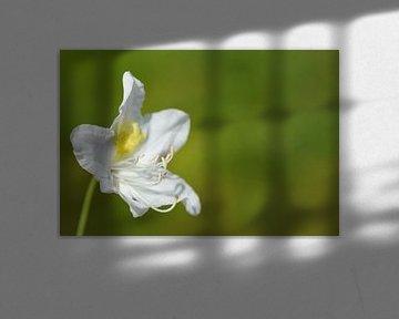 Einzelne Rododendronblüte vor grünem Hintergrund von Ulrike Leone