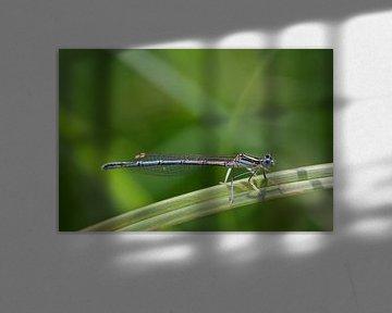Libelle auf einem Grashalm von Ulrike Leone