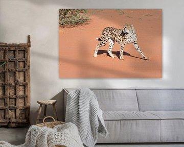 Gepard in der Kalahari von Felix Sedney