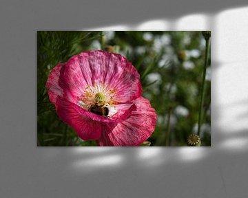 Hommel op zoek naar lekkers in een roze klaproos van JM de Jong-Jansen