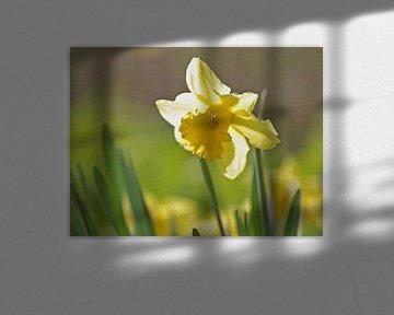 Gelbe Narzisse in der prallen Sonne von Ronald Smits
