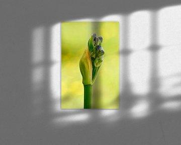 Knospen einer blauen Agapanthus, Afrikanische Lilie von Klik! Images