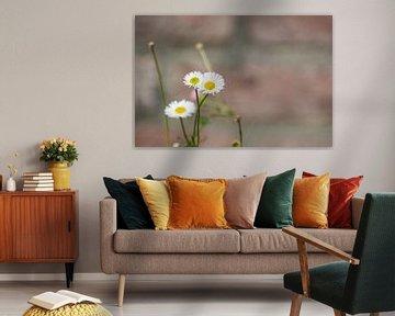 Einsames Gänseblümchen von Dorota Talady