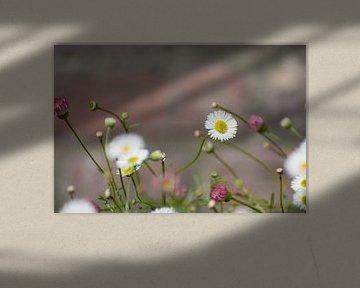 Weiße Margeritenblüte von Dorota Talady