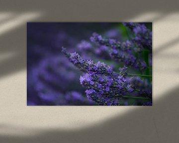 Lavendel Valensole 7 van Vincent Xeridat