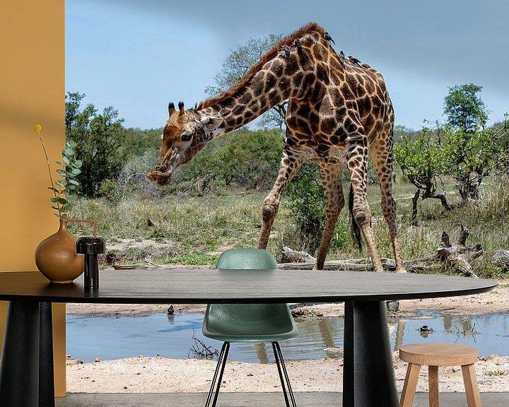 Beispiel fototapete: Giraffe (Giraffa camelopardalis) Mann, der aus einem Teich trinkt von Nature in Stock