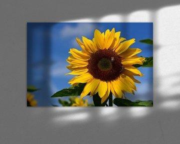 Eine gelbe Sonnenblume vor blauem Himmel von Ulrike Leone