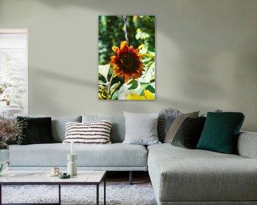 Sonnenblume von Simen Crombez
