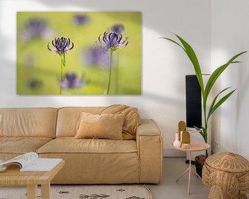Violette rundköpfige Rampenblumen in einem grünen Grasfeld von Elles Rijsdijk