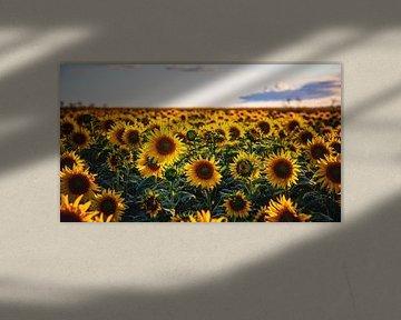 Zonnebloemveld van Steffen Gierok