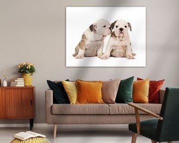 Englische Bulldogge-Welpen von Elles Rijsdijk