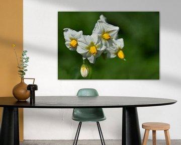 Eine weiße Kartoffelblüte vor grünem Hintergrund von Ulrike Leone