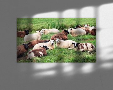 Auf einer Wiese liegende Schafherde von Tony Vingerhoets