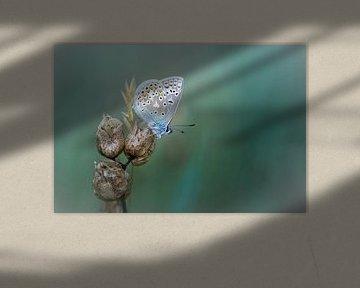 Onthaasten en genieten... (Icarusblauwtje, vlinder, zomer) van Bob Daalder