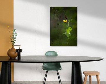 Frauenschuh (Orchidee) im Regen von Daniela Beyer