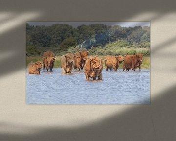 Herde roter schottischer Hochlandbewohner im Wasser von Anne Zwagers