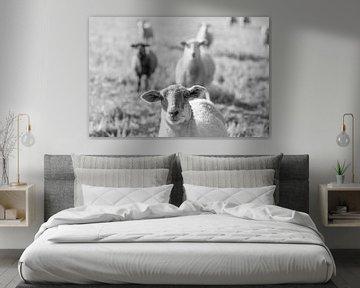 Schafe laufen in Schwarzweiß, ein Schaf im Fokus, mehr im Hintergrund von John Quendag