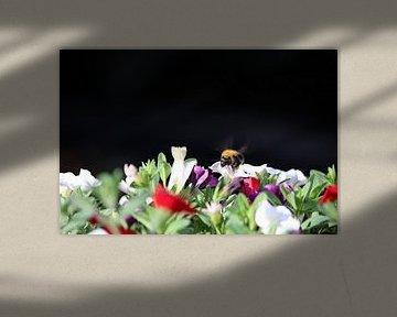 Bourdon sur ma jardinière avec des pétunias sur Henri Bekker