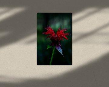 Bergamotte-Pflanze (Monarda 'Jacob Cline') von Paul Veen