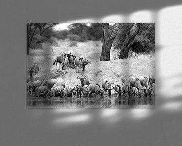En safari en Afrique : Troupeau de gnous s'abreuvant à un point d'eau (noir/blanc) sur Koolspix
