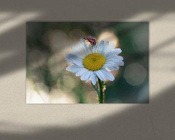 Lieveheersbeestje op een margriet #2 van Edwin Mooijaart
