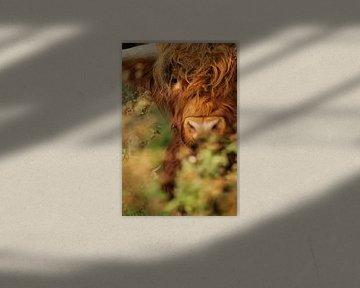 Schotse Hooglander in de struiken van Caroline van der Vecht