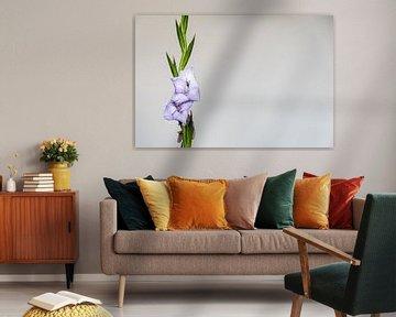 Fliedervioletter Gladiolus auf weißem Hintergrund mit viel Platz rechts von Idema Media