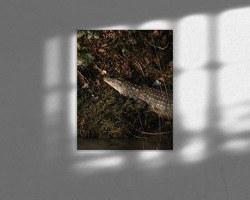 Frühmorgendliches Krokodil von Ian Schepers
